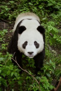 China Cruises & Tours - Wildlife - Panda