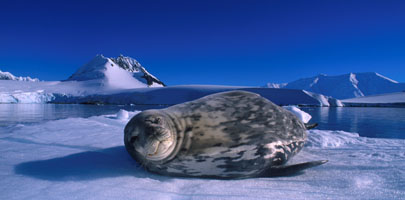 Antarctica Cruises & Tours - Wildlife - Weddell Seal